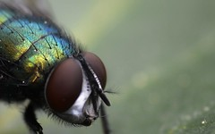 Greenbottle Macro II (Josh Rokman) Tags: insect fly greenbottle flyinginsect greenbottlefly