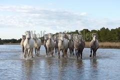 40080728 (wolfgangkaehler) Tags: horse france water french europe european running wetlands marsh herd marshland wetland camargue southernfrance marshlands galloping 2016 camarguehorses intocamera towardscamera