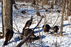 A Rafter of Turkeys. (U.S. Fish and Wildlife Service - Midwest Region) Tags: winter minnesota turkey midwest wildlife turkeys mn usfishandwildlifeservice mnstatepark winterwildlife midwestregion winterinregion3