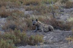 Tüpfelhyäne (Crocuta crocuta) - Etosha-Nationalpark, Namibia (Nov. 2015) (anschieber | niadahoam.de) Tags: namibia hyena etosha hyäne 2015 spottedhyena etoshanationalpark afrikaafrica fleckenhyäne 201511 namibia2015 hyänenhyaenidae tüpfelhyänecrocutacrocuta etoshahyäne