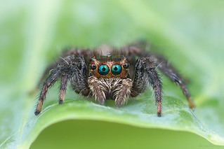 Aranha papa-mosca (Salticidae)