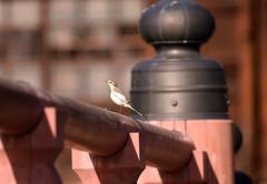 Pray for a good year! (ogawa san) Tags: bridge bird japan pretty pray future handrail yokohama kanazawabunko waterwagtail shoumyoujitemple