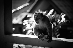 (bendikjohan) Tags: wild bw white black film beach animal animals thailand monkey blw banana 1600 southern rey ley neopan bnw krabi macaque railay bl pigtailed