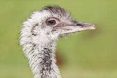 [6035] (Ojo Torpe) Tags: portrait people bird nature outdoors uruguay eyes no wildlife beak nopeople sideview rhea maldonado