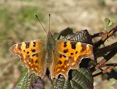 Comma (x2) (rockwolf) Tags: butterfly insect shropshire lepidoptera papillon comma polygoniacalbum rockwolf merringtongreen