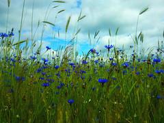 Cornflowers (_muscaria_) Tags: summer field grass village grain calming meadow tranquil cornflower blueflowers cornflowers