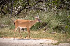 Cerf (Seb & Jen) Tags: usa keys florida deer floride cerf tatsunis bigpinekey