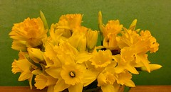 A host of golden daffodils (Steve-h) Tags: flowers ireland winter  dublin nature glass blossoms january jug narcissi daffodils waterford allrightsreserved 2016 steveh