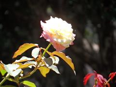31/366 Light (JessicaBelotto) Tags: flower color luz sol rose foto ar little flor rosa days honey lives ao fotografia projeto dias livre cor branca brighten iluminar fotografando fotografico 366 366daysofhoney 366diasnoano
