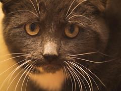 Nate (Garen M.) Tags: cats jerry kittens nate 3365 companionanimals olympusomdem1 zuiko60mmf28macro