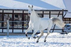Said_20164578 (OliverSeitz) Tags: said pferd pamir schimmel hengst arabianhorses sadana i vollblutaraber hauptundlandgesttmarbach arabischepferde oliverseitz oliseitzde