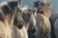 De Stille Kern_Horsterwold_Zeewolde_konikpaard_9 (Edwin Pijpers) Tags: natuur horsterwold landschap zeewolde konikpaarden destillekern