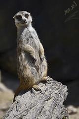mongoose 2 (محمد بوحمد بومهدي) Tags: travel animal animals zoo nikon mohammed mongoose widlife محمد حيوانات سفر حيوان الحيوانات herpestidae حديقة نيكون الحيوان بوحمد buhamad النمس ترحال