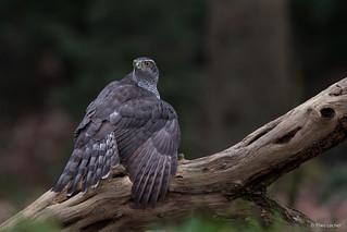 Havik - Northern Goshawk - Accipiter gentilis -6306