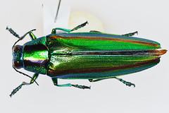 yamatotama3lt-test1_ds8_3569 (takao-bw) Tags: japan insect beetle coleoptera   buprestidae jewelbeetle