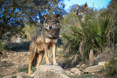 MMB_6832 (mmariomm) Tags: grey wolf lobo lupus antequera iberian canis ibrico signatus lobopark
