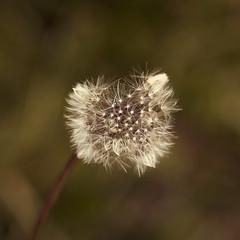 Waiting (<be>) Tags: dandelion wish