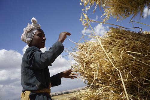Kemeriya Mohamed stacking harvested wheat