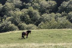 06092015-_DSC0332 (AlbertoEla) Tags: naturaleza caballo paisaje bosque campo otoo navarra airelibre artesiaga