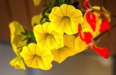 PETUNIE GIALLE. (FRANCO600D) Tags: canon colore sigma giallo petunia petali surfinia colorato coloregiallo eos600d franco600d