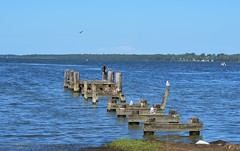 Old wharf at Gorokan (AndyBrii) Tags: pelicans nsw centralcoast lakebudgewoi