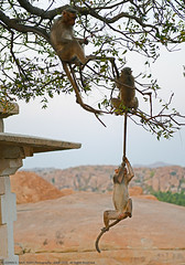 A TALE OF TAILS (GOPAN G. NAIR [ GOPS Photography ]) Tags: animal photography monkey funny tail mischief hang gops gopan gopsorg gopangnair gopsphotography