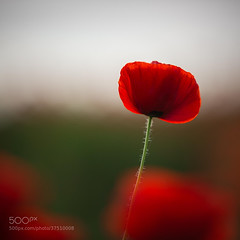 The Highest Poppy (hmbautista) Tags: red summer italy plant flower color macro nature colors field closeup one golden flora soft alone blossom bokeh head country sunny fresh petal hour poppy poppies bloom ferrara blossoming delicate freshness blooming