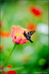 Long Tail Skipper on a zinnia (ChristianRock) Tags: county flower nature butterfly garden georgia 50mm focus long pentax tail skipper 17 manual zinnia 50 dekalb smc k20 f17 pentaxm k20d