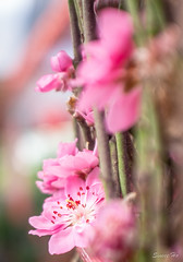 Plum Blossoms (Sinsee Ho) Tags: pink flowers hope flora chinesenewyear malaysia ume lunarnewyear courage plumblossoms