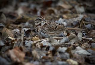Song Sparrow,