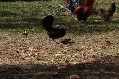 Canon201759 (godrudy6661) Tags: chickens chicken neworleans ninthward wildchicken feralchicken