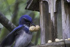 Western Scrub-Jay (julesnene) Tags: california blue bird garden backyard peanuts jays backyardbird westernscrubjay aphelocomacalifornica julesnene juliasumangil canon7dmarkii canon7dmark2 longtailedjays