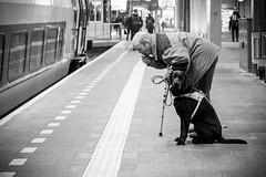 © Inge Hoogendoorn (ingehoogendoorn) Tags: blackandwhite dog station train eyecontact labrador zwartwit smoke streetphotography trains denhaag smoking blacknwhite bestfriend thehague trein treinen waitingforthetrain straatfotografie blindegeleidehond rooken