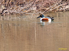 Cuchara comn  (Anas clypeata) (13) (eb3alfmiguel) Tags: aves cuchara comn acuaticas europeo antidas