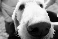 Crosby gets up close and personal with the camera. Seattle, WA. March 2016. (poopoorama) Tags: seattle blackandwhite dog washington engagement eric unitedstates heather fujifilm gasworkspark crosby xseries dannyngan laboradoodle wclx100 x100t dannynganphotography