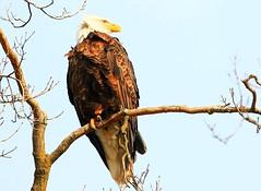 bald eagle at Decorah Fish Hatchery IA 854A2139 (lreis_naturalist) Tags: county fish eagle bald reis iowa larry decorah hatchery winneshiek