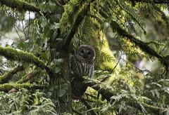 I See you! (spollock61) Tags: trees nature oregon portland moss nikon wildlife owl barredowl thepacificnorthwest