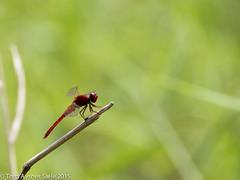Dragonfly Sungei Buloh (tord75) Tags: nature singapore 2016 sungeibulohwetlands sungeisungeibuloh