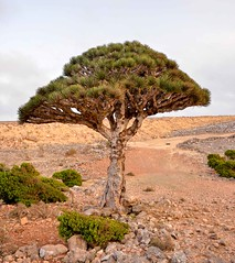 Dragon's Blood Tree, Socotra Is. (Rod Waddington) Tags: tree nature landscape island blood dragons east species yemen endangered middle dracaena yemeni socotra cinnabari