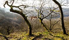 Alt wie ein Baum _ Old like a tree.. (thorvonassgard) Tags: old trees sun abstract tree forest alt sunny sonnig sonne wald bäume baum moos abstrakt heiter