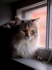 Stevie (Travis Estell) Tags: stevie longhair calico calicocat graycat greycat domesticlonghair steviethecat damestevie