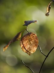 Jeu d'ombre et de lumire -* (Titole) Tags: shadow leaves leaf branch bokeh feuille thechallengefactory titole nicolefaton