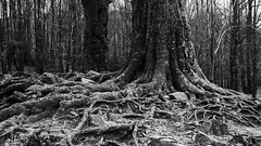 Raíces (borjamuro) Tags: barcelona wood bw españa mountain tree forest spain madera nikon montana 7100 bn espana bosque árbol root montaña raiz montseny raices d7100