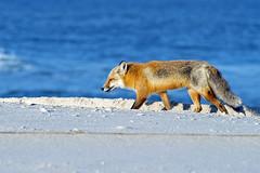 Red Fox (Brian E Kushner) Tags: park new red beach nature animals mammal island berkeley nikon state wildlife nj fox jersey f28 70200mm redfox vulpesvulpes nikor islandbeachstatepark d4s nikon70200mmf28 bkushner nikond4s brianekushner