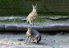 Veszprm Zoo (szendimoks) Tags: zoo mara veszprm nagy patagonian