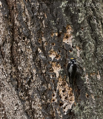 """Three-toed Woodpecker • <a style=""""font-size:0.8em;"""" href=""""http://www.flickr.com/photos/63501323@N07/25809489426/"""" target=""""_blank"""">View on Flickr</a>"""