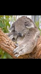 Sydney (geddesvictoria) Tags: sleeping animals sydney australia koala tarongazoo