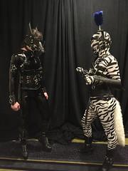 Two Ponies- 1 (AgentDrow) Tags: black sexy tail bondage bdsm pony zebra latex corset pvc zentai ponyplay
