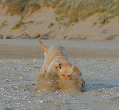 Got it .... (Sharron Burns) Tags: beach toy sand labrador yellowlab play fetch