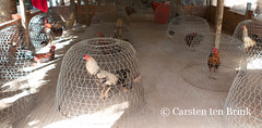 Like it or not, these birds will fight (10b travelling) Tags: birds river asian asia asien southeastasia vietnamese delta cock vietnam rooster asie mekong cockfight indochine indochina mytho cages cockerel 2015 bentre tenbrink carstentenbrink iptcbasic 10btravelling
